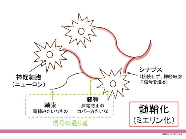 神経細胞 ミエリン化