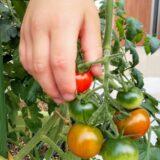 3~6歳児の菜園活動【モンテッソーリ教育を取り入れる】